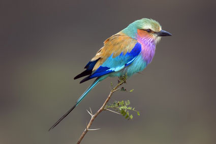 Lilac-breasted-Roller-picture