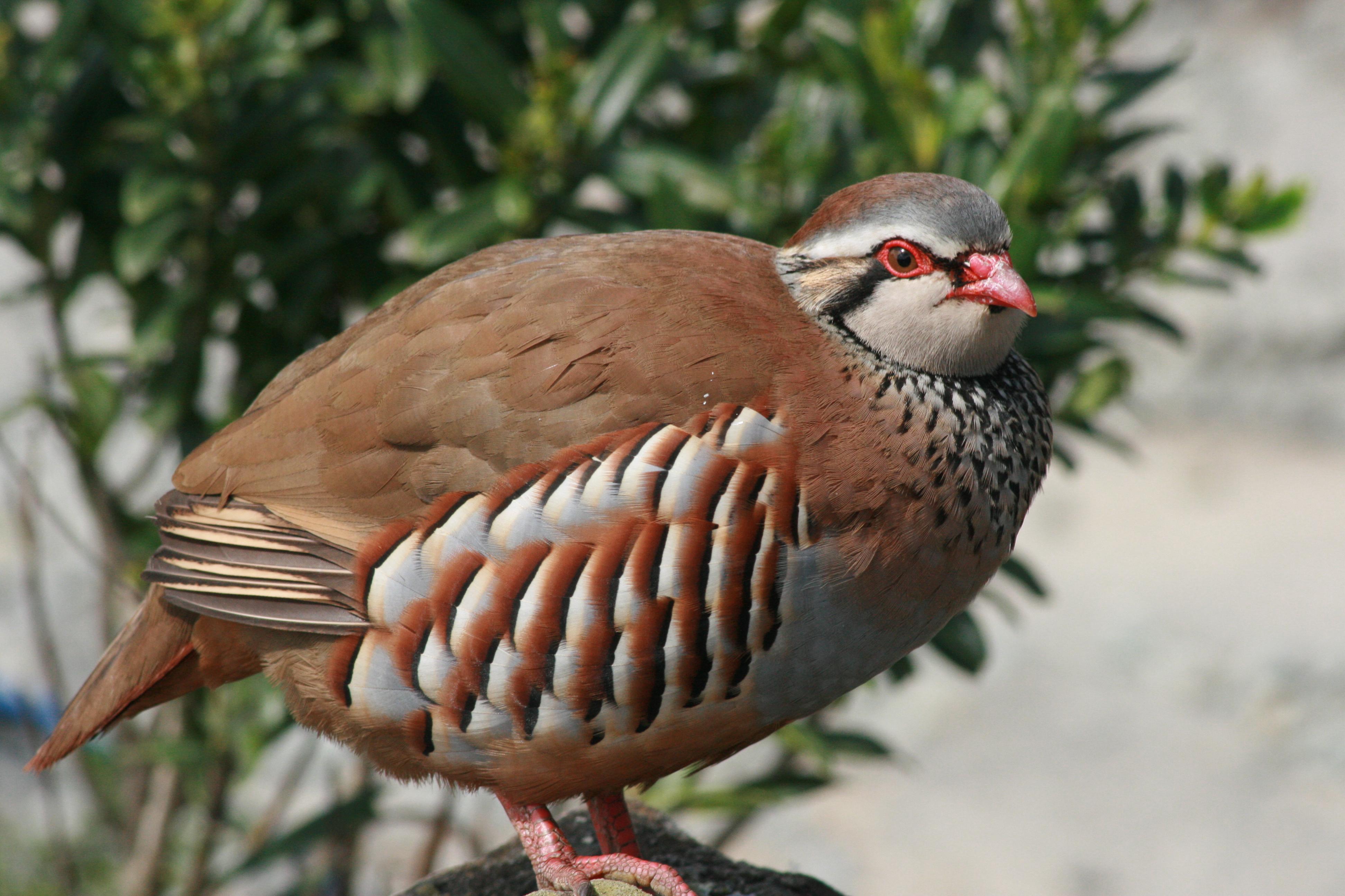 Partrige Bird