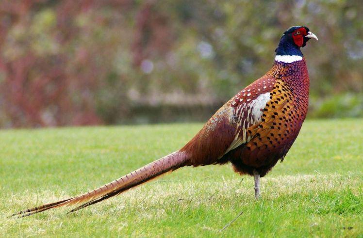 Pheasant August 24, 2017